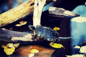 Pond Slider Turtle in the Wild by B-D-S
