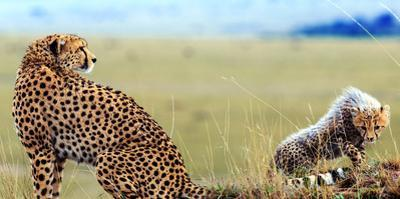 An African Cheetah and Her Cub Resting and Watching for Prey by Babak Tafreshi