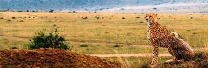 An African Cheetah and Her Cub Surveying the Landscape for Prey by Babak Tafreshi