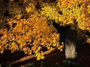 An Oak Tree, Quercus Species, with Colorful Leaves in Autumn by Babak Tafreshi