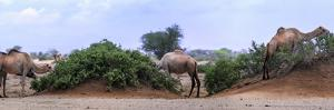 Camels Eating Tamarisk in the Chalbi Desert. the Gabra Live as Camel-Herding Nomads in the Area by Babak Tafreshi