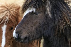 Close Up of Icelandic Horses. They are Small, Often Pony-Sized, But are Long-Lived and Hardy by Babak Tafreshi