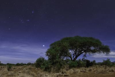 Constellations Orion and Taurus, and Bright Star Sirius over an Acacia Tree on a Moonlit Night