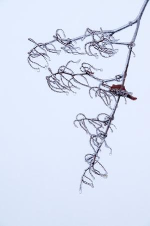 Ice Formed on a Tree Branch after a Freezing Rain by Babak Tafreshi