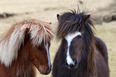 Icelandic Horses are Small, Often Pony-Sized, But are Long-Lived and Hardy by Babak Tafreshi