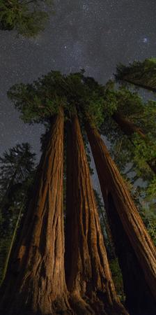 Night View of Giant Sequoia Trees in the Kings Canyon National Park by Babak Tafreshi