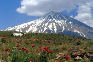 Poppies Growing Near Mount Damavand, a Live Volcano and the Highest Peak in the Middle East by Babak Tafreshi
