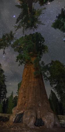 Stars Above a Giant Sequoia Tree in the Kings Canyon National Park by Babak Tafreshi