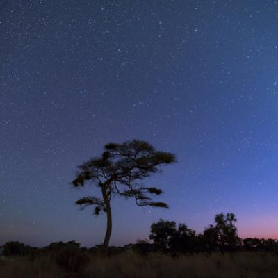 Stars in the Early Morning Sky over an Elegantly Curved Acacia Tree in Africa by Babak Tafreshi