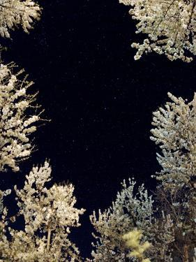 The Constellation Ursa Major, the Big Dipper, Above Flowering Trees in a Garden, in Spring by Babak Tafreshi