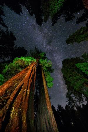 The Milky Way Above Towering Giant Sequoia Trees, Some of the Largest and Tallest Trees on Earth by Babak Tafreshi