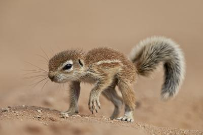 https://imgc.allpostersimages.com/img/posters/baby-cape-ground-squirrel-xerus-inauris_u-L-PWFB6A0.jpg?p=0
