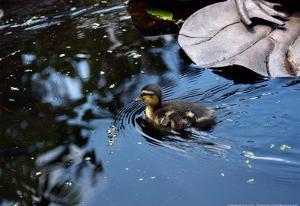 Baby Ducks on Pond