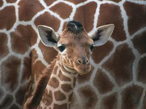 Baby Giraffe at Whipsnade Wild Animal Park Born, June 1996