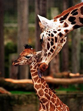 Baby Giraffe Being Licked by Mother, Edinburgh Zoo, January 1998