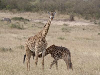 https://imgc.allpostersimages.com/img/posters/baby-masai-giraffe-nursing-masai-mara-national-reserve_u-L-P91L0V0.jpg?p=0