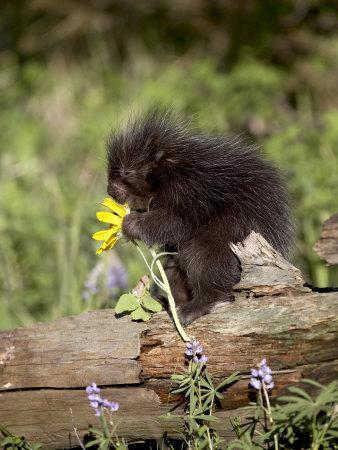 https://imgc.allpostersimages.com/img/posters/baby-porcupine-in-captivity-animals-of-montana-bozeman-montana-usa_u-L-P7NNEO0.jpg?artPerspective=n