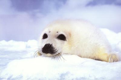 Baby Seal Cub
