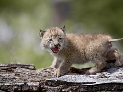 https://imgc.allpostersimages.com/img/posters/baby-siberian-lynx-or-eurasian-lynx-in-captivity-animals-of-montana-bozeman-montana-usa_u-L-P7NNWG0.jpg?p=0