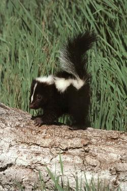 Baby Skunk (On Log) Art Poster Print