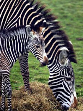 Baby Zebra with Mum Edinburgh Zoo, December 2001