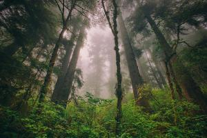 Back to the Trees, California Coastal Redwoods