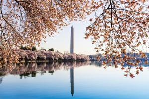 Washington Monument Towers above Blossoms by BackyardProductions