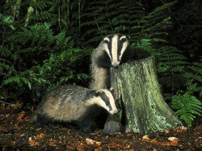 https://imgc.allpostersimages.com/img/posters/badger-cubs-on-and-around-tree-stump-uk_u-L-Q10R3N80.jpg?artPerspective=n