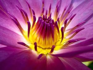 Lotus, Fresh Color, with Yellow Stamens of the Lotus Flower by Baitong