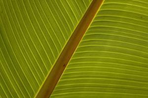 Close-Up of Plantain Leaf by Balan Madhavan