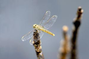 Dragonfly on Stump, Kumarakom, Kerala, India, Asia by Balan Madhavan
