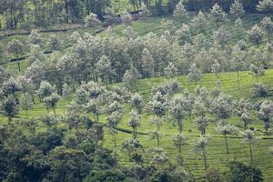 Landscape, Munnar, Kerala, India, Asia by Balan Madhavan