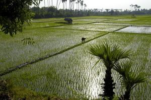 Paddy Fields, Tamil Nadu, India, Asia by Balan Madhavan