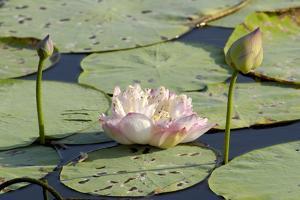 Pond Filled with Lotus, Tamil Nadu, India, Asia by Balan Madhavan
