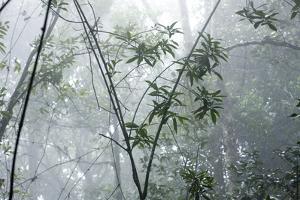 Shola Forest Interior in Mist, Eravikulam National Park, Kerala, India, Asia by Balan Madhavan