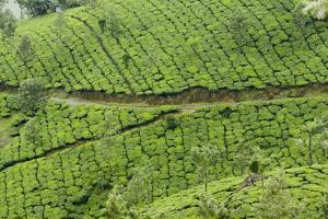 Tea Gardens, Devikulam, Munnar, Kerala, India, Asia by Balan Madhavan