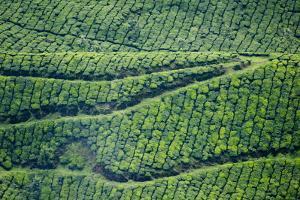 Tea Gardens, Munnar, Kerala, India, Asia by Balan Madhavan