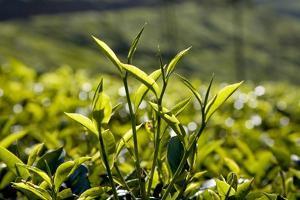 Tea Leaves, Munnar, Kerala, India, Asia by Balan Madhavan