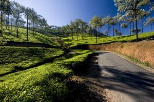 Tea Plantations, Vagamon, Kerala, India, Asia by Balan Madhavan