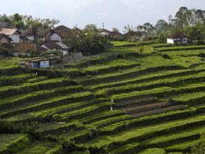 Terrace Fields on Farms, Koviloor, Near Munnar, Kerala, India by Balan Madhavan