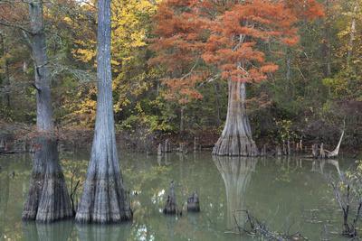 https://imgc.allpostersimages.com/img/posters/bald-cypress-along-the-white-river-white-river-national-wildlife-refuge-arkansas_u-L-Q1CZW2I0.jpg?p=0