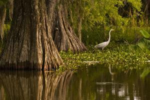 Bald Cypress and Great Egret in Swamp, Lake Martin, Louisiana, USA
