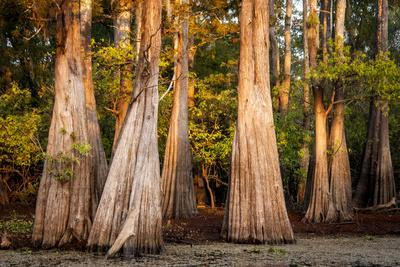 https://imgc.allpostersimages.com/img/posters/bald-cypress-in-water-pierce-lake-atchafalaya-basin-louisiana-usa_u-L-PN6V4Z0.jpg?p=0