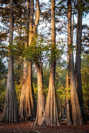 https://imgc.allpostersimages.com/img/posters/bald-cypress-in-water-pierce-lake-atchafalaya-basin-louisiana-usa_u-L-PN6V5T0.jpg?p=0