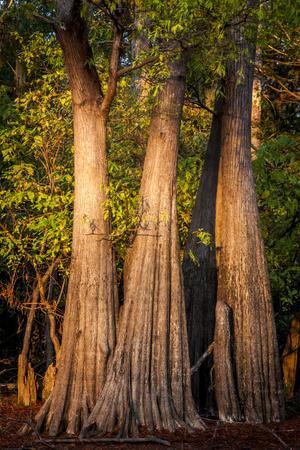 https://imgc.allpostersimages.com/img/posters/bald-cypress-in-water-pierce-lake-atchafalaya-basin-louisiana-usa_u-L-PXR7ZD0.jpg?p=0