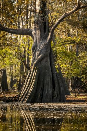 https://imgc.allpostersimages.com/img/posters/bald-cypress-in-water-pierce-lake-atchafalaya-basin-louisiana-usa_u-L-PXR87V0.jpg?artPerspective=n