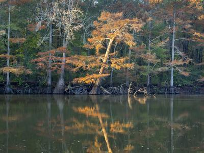 https://imgc.allpostersimages.com/img/posters/bald-cypress-white-river-national-wildlife-refuge-arkansas_u-L-Q1CZVQR0.jpg?p=0