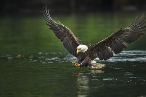 Bald Eagle, British Columbia, Canada