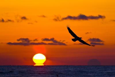 https://imgc.allpostersimages.com/img/posters/bald-eagle-haliaeetus-leucocephalus-in-flight-silhouetted-at-sunset-haines-alaska-march_u-L-Q13AAPL0.jpg?p=0