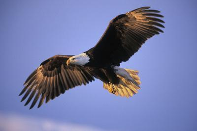 https://imgc.allpostersimages.com/img/posters/bald-eagle-in-flight-early-morning-light_u-L-Q106M1D0.jpg?p=0
